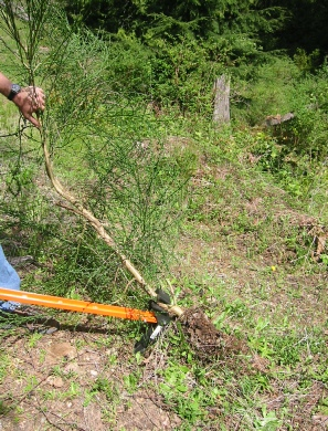 The Extractigator works great with removing Garlic Mustard